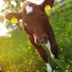 Kalv fra Røros-traktene_Marius Rua