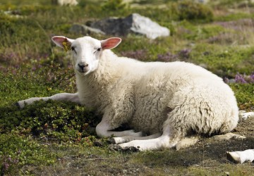 Lammefilet